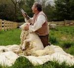 FCMV 17 sheep