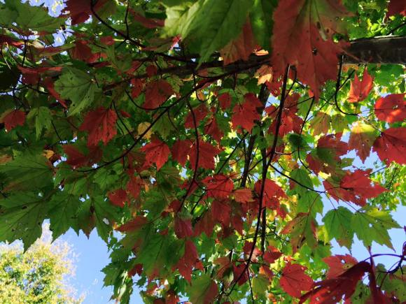 Autumn leaves 2 maple tree in yard