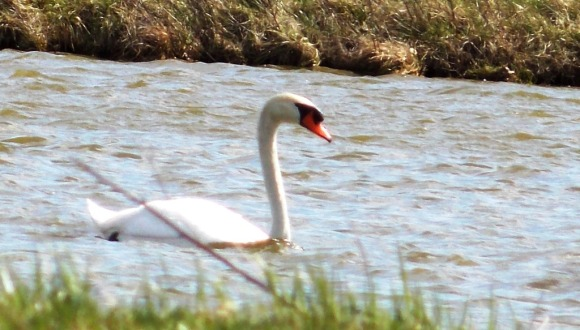 40 swan