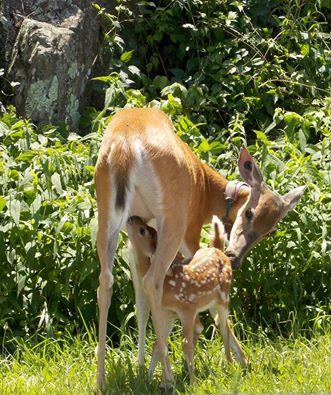Deer 1 SNP