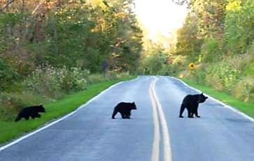 Black bears 1 (2)